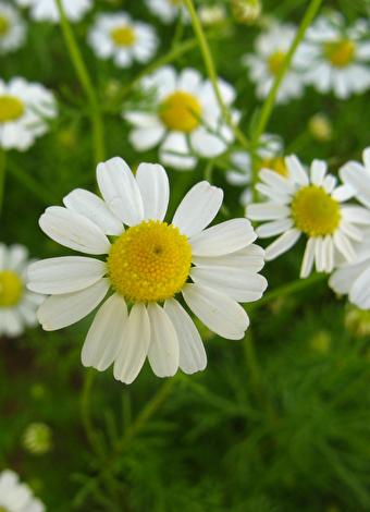 Ruh sağlığına iyi gelen bitkiler